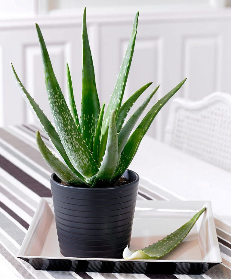 aloe vera - Honeycomb Builders Inc.